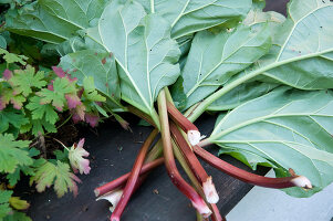 Bildno.: 11018785<br/><b>Feature: 11018783 - Rhubarb to Go</b><br/>Home-made garden stepping stones made from rhubarb leaves<br />living4media / Casper-Zielonka, Susanne