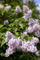Bildno.: 11126211<br/><b>Feature: 11126197 - Lilac and Leisure</b><br/>Lilacs and the scent of summer<br />living4media / Nordstrom, Annette