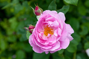 Bildno.: 11263965<br/><b>Feature: 11263941 - Rich in Roses</b><br/>Italian rose garden is a treasure trove of fragrent old fashioned roses<br />living4media / Kompatscher, Anneliese