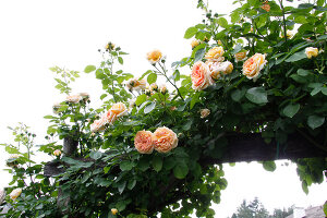 Bildno.: 11263975<br/><b>Feature: 11263941 - Rich in Roses</b><br/>Italian rose garden is a treasure trove of fragrent old fashioned roses<br />living4media / Kompatscher, Anneliese