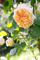 Bildno.: 11264003<br/><b>Feature: 11263941 - Rich in Roses</b><br/>Italian rose garden is a treasure trove of fragrent old fashioned roses<br />living4media / Kompatscher, Anneliese