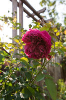 Bildno.: 11264039<br/><b>Feature: 11263941 - Rich in Roses</b><br/>Italian rose garden is a treasure trove of fragrent old fashioned roses<br />living4media / Kompatscher, Anneliese