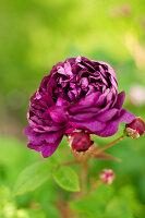 Bildno.: 11271961<br/><b>Feature: 11271958 - Swedish Garden</b><br/>Garden in Lynga<br />living4media / M&#246;ller, Cecilia