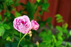 Bildno.: 11272035<br/><b>Feature: 11271958 - Swedish Garden</b><br/>Garden in Lynga<br />living4media / M&#246;ller, Cecilia