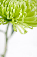 Bildno.: 11305849<br/><b>Feature: 11305840 - The Greening Touch</b><br/>Green flowers add a special kick to any room<br />living4media / Weber, Cornelia