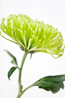Bildno.: 11305853<br/><b>Feature: 11305840 - The Greening Touch</b><br/>Green flowers add a special kick to any room<br />living4media / Weber, Cornelia