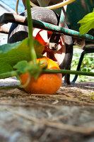 Bildno.: 11345903<br/><b>Feature: 11345897 - Pumpkin Party</b><br/>Pumpkins and Jack-o&#39;-Lanterns<br />living4media / Klazinga, Jansje