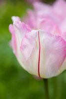 Bildno.: 11428747<br/><b>Feature: 11428706 - Tulip Time</b><br/>Spring garden in The Netherlands<br />living4media / Pietrek, Sibylle
