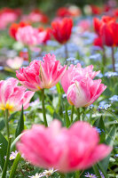 Bildno.: 11428749<br/><b>Feature: 11428706 - Tulip Time</b><br/>Spring garden in The Netherlands<br />living4media / Pietrek, Sibylle