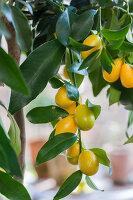 Bildno.: 12236431<br/><b>Feature: 12236411 - Under the Lemon Tree</b><br/>Gardening in a conservatory makes everything possible<br />living4media / Piru-Pictures