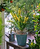 acacia mimose mit ranken von muehlenbeckia bild kaufen. Black Bedroom Furniture Sets. Home Design Ideas