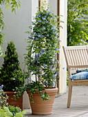 clematis alpina blue princess alpen waldrebe buxus. Black Bedroom Furniture Sets. Home Design Ideas