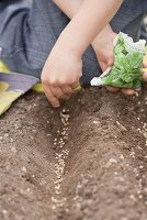 Child sowing spinach seeds in soil