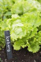 Iceberg lettuce in a flower bed