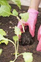 Kohlrabi seedlings being planted in a vegetable patch