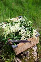 A crate of elderflowers