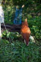 A chicken in a garden