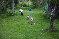 Runner ducks and chicks in a garden
