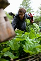 A woman picking rhubarb in the garden