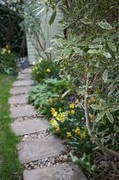 Flowering narcissus by garden path