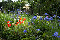 Blue agapanthus and red poppies in summer garden