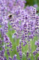 Bumblebee on flowering lavender