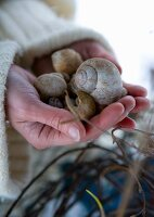 Hands holding empty snail shells