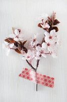 Cherry blossom on white background
