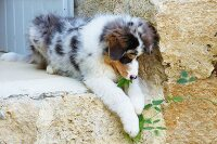 Australian Shepherd puppy playing with plant tendril in garden