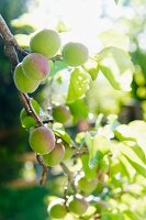 Unripe apricots on branch in sunny garden