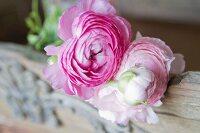 Pink ranunculus blooms on vintage wooden board