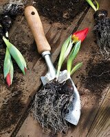 Tulip 'Brilliant Star' and bulb on trowel