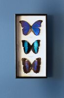 Mounted butterflies in shimmering shades of blue in wall-mounted display case on blue grey wall