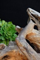 Root-like structure and succulent plant against black background