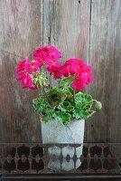 Pink geranium plant