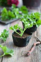 Pelargonium cuttings in small seedling pots