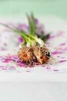 Sprouting crocus bulbs on lilac gift wrap