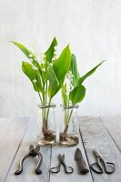 Vintage garden scissors and lilies of the valley with root balls in glass bottles
