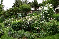 Profusely flowering roses in garden