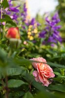 Salmon-pink roses in flower bed in front of blurred blue flowers