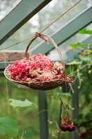 Basket of cut geranium flowers hanging from cord