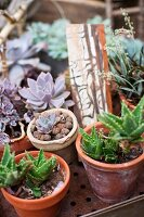 Various succulents in terracotta pots