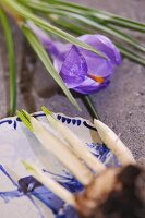Purple crocus flower and dish