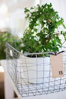 White pot of ivy in wire basket