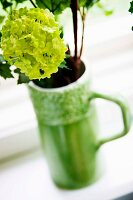 Lime green viburnum flower in retro jug on windowsill