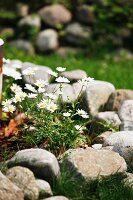 Tussock of daisies in flowerbed edged with pebbles