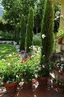 Cypress trees in sunny garden with roses in terracotta pots on terrace floor in foreground