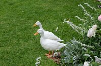 Pair of white ducks in garden