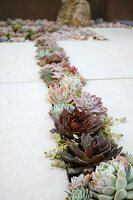 Narrow bed of various succulents between stone flags of terrace floor