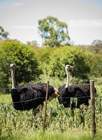 Ostriches on farm in South Africa